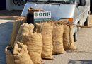GNR apreende 450 sacos de alfarrobas roubadas